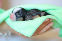 (Marika Meschino) Tags: dog chihuahua love puppies soft sweet pastel dremy