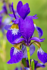 Iris (Jack Pal) Tags: flowers macro blooms bestcapturesaoi blinkagain bestofblinkwinners flickrstruereflection1 trueexcellence1 rememberthatmomentlevel4 rememberthatmomentlevel1 rememberthatmomentlevel2 rememberthatmomentlevel3 rememberthatmomentlevel7 pcobmacro rememberthatmomentlevel5 rememberthatmomentlevel6 rememberthatmomentlevel8