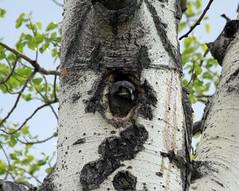 Northern Hawk Owlet (K Fletcher) Tags: canada bird hawk alberta owl northern northernhawkowl