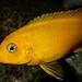 Metriaclima sp. 'msobo' Magunga Reef