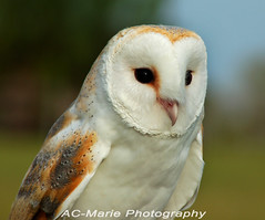 Owl (ac-marie) Tags: bird birds owl owls freedomtosoarlevel3birdphotosonly freedomtosoarlevel2birdphotosonly freedomtosoarlevel4birdphotosonly freedomtosoarlevel5birdphotosonly freedomtosoarlevel4birdsonly freedomtosoarlevel5birdsonly freedomtosoarlevel6birdsonly animal outdoor