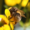 Alles meins - All mine (ho.ge) Tags: bumblebee hummel fbdg