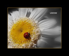My First Lady... (ljucsu) Tags: macro bugs ladybug foof finegold flickraward colorsoftheheart soloreflex cutflowerswithprettystems coth5 fineplatinum finestdiamond rememberthatmomentlevel1 rememberthatmomentlevel2 rememberthatmomentlevel3 niceasitgets~level1 niceasitgets~level3 niceasitcetslevel~level2 flowersavespaisagens
