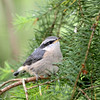 Baby Nuthatch (Peggy Collins) Tags: canada britishcolumbia pacificnorthwest babybird nuthatch sunshinecoast redbreastednuthatch birdonbranch birdcloseup peggycollins babynuthatch