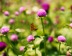 Skipper Butterfly in Flight (j man.) Tags: life birthday lighting pink flowers friends light summer motion flower macro green art texture nature floral colors beautiful tongue closeup contrast butterfly bug insect lens happy photography wings colorful flickr dof purple blossom bokeh pov background thistle sony details extreme blossoms flight skipper favorites depthoffield pointofview freeze views 60mm closeness tamron comments fiery 2012 missouribotanicalgardens rolled jman a300 mygearandme fl