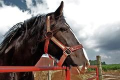 Madeline (beccafromportland) Tags: horses horse shire madeline drafthorse heavyhorse jaycountyindiana trekpaard shirepowerfarm
