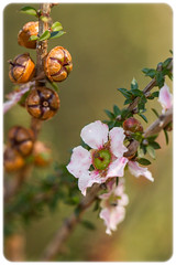 Leptospermum squarrosum (Craig Jewell Photography) Tags: manly sydney australia 100mm wildflower f40 iso1250 leptospermum leptospermumsquarrosum 0ev manlydam sec ef100mmf28lmacroisusm canoneos1dmarkiv filename20120630124115x0k0291cr2 leptospermumsquarrosumsquarrosum 334657s1511512e