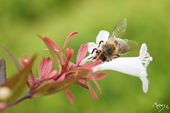 Abeille sur fleur blanche (laurentmorand) Tags: flower macro nature fleur photo vert printemps abeille insecte vegetal morand