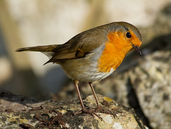 Inquisitive Robin (Mukumbura) Tags: uk england sunlight bird nature beauty robin sunshine birds garden outdoors rocks looking erithacusrubecula unitedkingdom birding hunting warmth somerset aves ave environment lichen curious worms stature ornithology birdwatching oiseau europeanrobin oiseaux inquisitive redbreast robinredbreast fragility