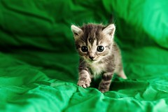 chaton (sylvain.landry) Tags: portrait animal chat bestof jour grosplan