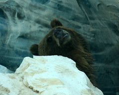 Grizzly Bear trying to stay cool ... (The Dolly Mama) Tags: bear hot zoo ky july louisville grizzly 106degrees