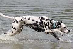 Young Dalmatian loving the water. (Judy Rothchild) Tags: pets white playing black dogs water canon puppy pond lily action running dalmatians splashing
