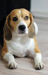 Beagle (Diyanski) Tags: dog cute beagle dogs animal animals puppy friend funny looking adorable canine domestic bone
