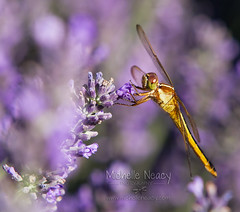 A dragonfly feasts on some lavender (Michelle in NY) Tags: wings purple feeding dragonfly lavender michellegreene lavenderbythebay wwwmichelleneacycom michelleneacygreene