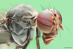 Empilhamento de Foco (Maxwel Rocha) Tags: brazil macro nature animal closeup brasil canon bug insect fly flickr natureza inseto animais mosca macrophotography sx20 macrofotografia mpe 65mm mpe65mm focusstacking moscadafruta macrolife eos600d maxwelrocha empilhamentodefoco pilhadefoco