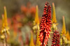 South Africa - Colours of Winter (Martin_Heigan) Tags: camera flowers winter light red orange color colour art nature beautiful yellow digital painting landscape southafrica succulent aloe nikon focus soft dof martin bokeh pastel july sunny depthoffield explore photograph pastels paintingwithlight bloom dslr pallet succulents 2012 blooming spectacle aloes blom suidafrika rooi flickrexplore explored blomme heigan aalwyn wsnbg d7000 mhsetbokeh mhsetflowers aalwyne mph4788