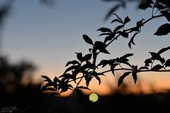 Sunset III (samuel.rolo) Tags: blue light sunset orange tree portugal beautiful beauty field silhouette night self garden lens point photography 50mm prime photo bush nikon focus foto photographer view photos bokeh magic hour fotografia nikkor 18 50 samuel depth 2012 50mm18 viseu taught nikon5018 2013 nikon50mm nikon18 d5100 nikond5100