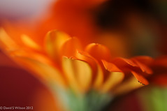 Orange Mist (David S Wilson) Tags: uk flowers england orange blur flower nikon bokeh gerbera ely fens 2012 lightroom flowersplants nikond90 davidswilson micronikkor40mmf28lens adobelightroom4