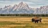Dreams of the Old West (Jeff Clow) Tags: mountains nature animals landscape bravo wildlife bison iconic grandtetonnationalpark tps tetonmountainrange theoldwest jacksonholewyoming bullbison elkranchflats topphotospots tpslandscape tpswildlife