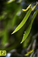 ~ (F J . S H A R I F) Tags: green home nature water yellow canon garden 50mm bahrain drops     550d      fjsharif