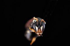 Hylaeus-sp.-1,-face_2012-06-19-15.49.28-ZS-PMax (Sam Droege) Tags: portrait macro eye face animal animals bug insect hawaii eyes oahu head bees insects bugs bee scape antenna usgs stacked arthropods animalia arthropoda antennae invasive flagellum arthropod macrophotography invasivespecies hymenoptera insecta introduced compoundeye pollinator compoundeyes apoidea pollinators pwrc aculeata droege pedicel zerene ocelli patuxentwildliferesearchcenter colletidae anthophila hylaeus yellowmaskedbee sensoryorgans sensorarray zerenestacker stackshot yellowmaskedbees biml sensoryarray pwrcpatuxentwildliferesearchcenterusgspollinator usgsbiml
