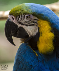 Blue and Yellow Macaw (smjphotography) Tags: park blue lake bird colors yellow gold nikon wildlife parrot halifax tobias macaw ara blueandgoldmacaw araararauna ararauna blueandyellowmacaw d5100 nikond5100