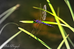 Fade B&W Dragonfly (Joe_F1sh) Tags: camping bw white lake black closeup bug nikon dragonfly insects trail fade nikond3100