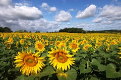 Les mariés (photosenvrac) Tags: nature soleil culture ciel nuage paysage tournesol lotetgaronne