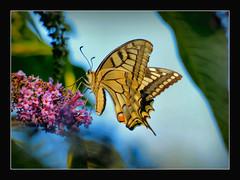 groe Freude fr mich.... (karin_b1966) Tags: nature butterfly garden insect natur insekt garten schmetterling 2016 schwalbenschwanz yourbestoftoday