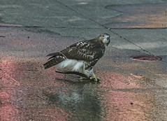 Hawk playing with a stick in the sprinkler (Goggla) Tags: nyc new york manhattan east village tompkins square park urban wildlife bird raptor red tail hawk fledgling juvenile play stick toy sprinkler goglog
