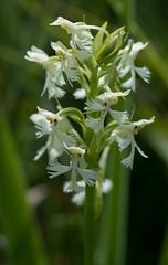 Platanthera lacera (TallGrass-IA) Tags: orchid minnesota forest woodland lumix us unitedstates panasonic fringed g6 43 ironrange platanthera nashwauk microfourthirds