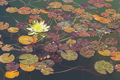 Lotus (N i n f a s d e l v i e n t o ) Tags: flower florwes lottus loto lotus lotusflower canaryislands islascanarias lanzarote spain nature camalote pantano beautiful hermoso lindo sweet soft catchy water waterflowers agua floresdeagua floresacuaticas amarillo yellow naturaleza flora floral summer heat belleza beauty love amor precious