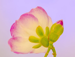 Cycle of life (brendan burgess) Tags: macro closeup pretty flower color nature nikon d7000 garden