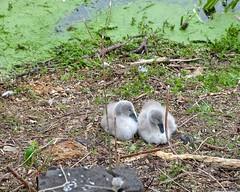 Grey Bits Of Fluff (Nanny Bean) Tags: greythings cygnets brayfordpool lincoln