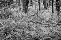 Your ambush (Raphs) Tags: deutschland germany bavaria bayern murnauermoos langefilze spruce forest trees trunks underwood undergrowth fern thicket blackandwhite monochrome texture raphs canoneos70d tamronspaf1750mmf28xrdiiildaspherical