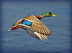 Drake Mallard ( Anas platyrhynchos ) - Dawn flight !! (Mid Glam Sam1) Tags: duck wildfowl inflight wales dawn morning drake mallard takingoff birdinflight anasplatyrhynchos water droplets