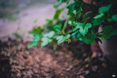 YUP-1657 (YUP! studio) Tags: beyondbokeh bloom flower photo photography studio yup yup4u bokeh helios helios77m4 swirly sony sonyimages sonya7ii macro natural nature green beauty outdoor saigon southeast southasia sonyflickraward