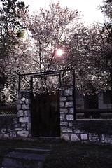 Da mundial de la fotografa (Luciana Garca) Tags: photography world day tree arbol flores frutos cerezo sakura salsipuedes crdoba argentina nikon nature naturaleza puerta door d7200