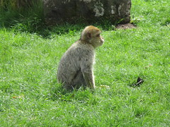 Trentham Monkey Forest (louisejaynemunton) Tags: trenthammonkeyforest monkey barbarymacaque england takenin2016 staffordshire