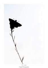 Connexion entre ciel et terre (Naska Photographie) Tags: naska photographie photo photographe paysage proxy proxyphoto papillon butterfly butterflie plante nature insectes extrieur sauvage herbe ombre chinoise clair obscur contre jour noir et blanc black white