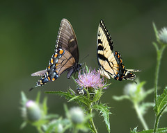 Eastern (yellow and black) Tiger Swallowtail Butterflies on Bull Thistle (wplynn) Tags: eastern tiger swallowtail butterfly bull thistle cirsium vulgare