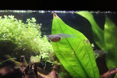 Pregnis (enfuego) Tags: guppy guppies gravid pregnant livebearer aquarium love guppylove