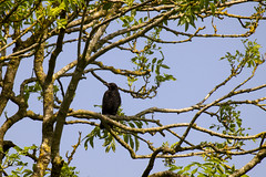 Safe in my tangle of branches (Anxious Silence) Tags: animal birds branches corvid crow nature outdoor places ruscombe tree twyford wildlife