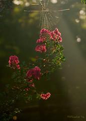 Blooming Crape Myrtle Backlit by Sunrise (David Warlick) Tags: adobelightroom cherryvillenc clevelandcountync crapemyrtle hdr mosslakenc naturenc nikon photomatixpro photoshop postprocessed postprocessing shelbync spider spiderweb backlit composite morning nature sunrise tree