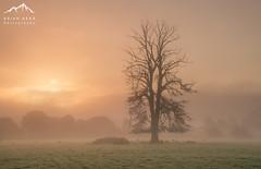 The Protector (.Brian Kerr Photography.) Tags: cumbria tree mistymorning mist edenvalley penrith templesowerby culgaith sonyuk a7rii sunrise briankerrphotography briankerrphoto