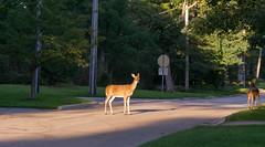 Suburban Doe (urbsinhorto1837) Tags: chicagoland dawn deer doedeer highlandpark morning northshore wildlife suburban outdoor