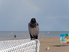 Nebelkrhe vor Regenbogen (Frederik VS) Tags: natur vogel nebelkrhe strand usedom ostsee wolken regen regenbogen lumix g6 dmcg6