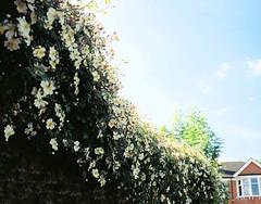 Single White Roses on Wall (Matthew Huntbach) Tags: grangehillroad eltham se9 white singleroses wall cinestill50