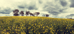 (B.M.K. Photography) Tags: canola rapeseed field trees clouds stormyclouds yellow flowers rural york western australia
