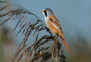 Male Bearded Tit/Reedling